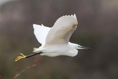 Cliffe 02.10.19 Flying Little Egret