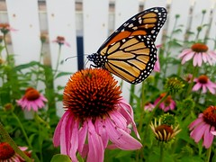 Butterfly on Flower. (dgoldtography) Tags: butterfly monarch nature flower pink orange green photo photograph photography outside outdoor backyard colour colours color colors pretty beautiful grass fence summer canada ontario samsung s7 camera phone