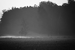 *** (pszcz9) Tags: przyroda nature natura naturaleza poranek morning mgła fog mist pejzaż landscape drzewo tree beautifulearth sony a77 bw blackandwhite monochrome