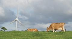 Ravenshoe_20190216_0025 (O En) Tags: wind turbines ravenshoe cows