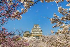 Himeji (Isaac Chiu_TW) Tags: himeji sakura japan cherryblossoms flowers landscapes travel canon canonphotography 姬路城 桜花 はな‐ふぶき