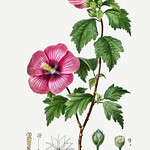 Rose of Sharon (Hibiscus syriacus) illustration from Traité des thumbnail