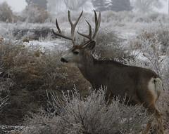 Big Mule Deer Buck (fethers1) Tags: rockymountainarsenalnwr rmanwr rmanwrwildlife coloradowildlife deer muledeer mule buck