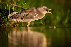 ZIM_4794 (lucvanderbiest) Tags: blackcrownednightheron kwak lagoonhide zimangaprivatereserve southafrica