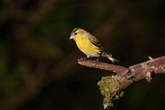 Male Siskin (Dan Baillie) Tags: bird gardenbird birdwatching nature scotland wigtownshire feathers birding