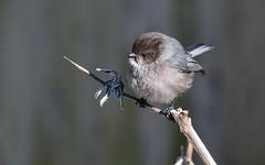 Bushtit (robinlamb1) Tags: nature outdoor animal bird bushtit psaltriparusminimus branch