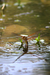 dragonfly يعسوب (mosa3ad alshetwi) Tags: يعسوب الباحة السعودية طبيعه حشرات سف سفر سياحة ترحال شجر ماء dragonfly tree treep travel nature insect water albaha saudiarabia eggs