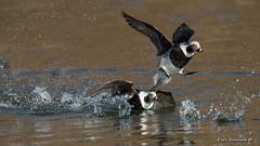The chase is on.. (Earl Reinink) Tags: bird animal duck waterfowl longtailedduck water lake reflections color nature wildlife earlreinink hoidzatdea