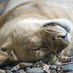 Cute young lioness sleeping thumbnail