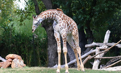 Reticulated Giraffe (Kaptured by Kala) Tags: fortworthzoo mammal zoo fortworthtexas reticulatedgiraffe giraffacamelopardalis giraffe largeanimal newspeciesforme nativetoafrica
