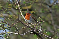 robin J78A0184 (M0JRA) Tags: robins birds humber ponds lakes people trees fields walks farms traylers