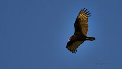 Vulture Patrol (Valley Imagery) Tags: turkey vulture buzzard bird flying scavenger sony a99ii 70400gii