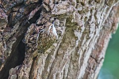Tree creeper (mikedoylepics) Tags: treecreeper birds british britishwildlife bird nikond4 nature nikon nikon200500mm sussex wildlife westsussex warnhamnaturereserve