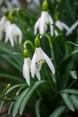 Snowdrops (s.d.sea) Tags: pentax k5iis washington washingtonstate wa pnw pacificnorthwest outdoors spring flowers floral flora macro snowdrop snowdrops bloom petals grow bellingham