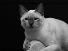 PC280913 (Vladimir V. Samoylov) Tags: 75mm animals bnw cat e5markii mzuiko75mmf18 m43 micro43 microfourthirdsmicro43 mono monochrome olympus olympusm75mmf18 omd μ43