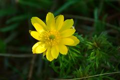 Первые цветы апреля / First flowers of april (Владимир-61) Tags: весна апрель природа цветы цветение желтый зеленый spring april nature flower blossom yellow green sony ilca68 minolta75300 natureinfocusgroup