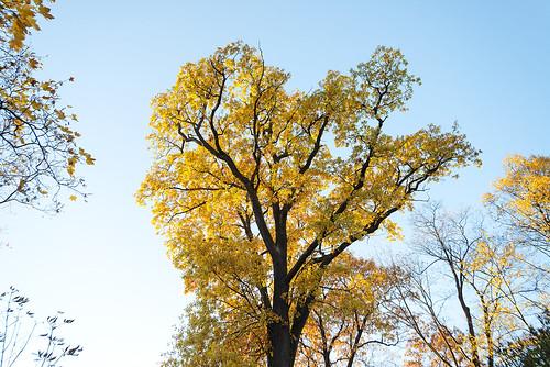 Golden Oak.