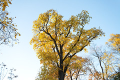 Golden Oak. (fedoseenko) Tags: санктпетербург россия colour природа beauty blissful loveliness beautiful saintpetersburg sunny art shine dazzling light russia day park peace garden blue голубой небо лазурный color sky pretty sun пейзаж landscape view heaven mood serene golden gold colours picture tree nature alley trees field autumn outdoors old wood зелень зленое trail orange reflection отражение осень деревья красота d800 24120mmf3556d
