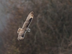 Bank right (Dave Searl) Tags: owl shorteared seo bif
