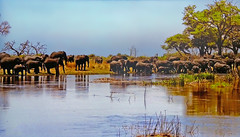 African savanna - Elephants are thirsty (Jacques Rollet (very little available)) Tags: water elephant africa mare wildlife fauna faune
