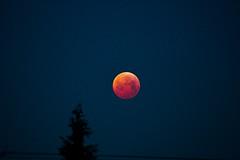 Lunar eclipse (Péter Vida) Tags: moon redmoon supermoon hold vöröshold szuperhold photo lunar tree sky