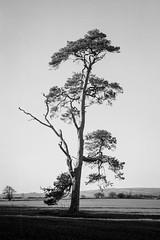 Lone Pine Nr Nunnungton (jhotopf) Tags: uk gb 6x9 pyro northyorkshire pmk ilfordfp4 zeisssuperikonta berggerpmk zeiss5302 5302 blackwhite noiretblanc blancoynegro 120