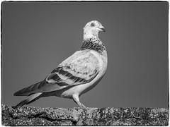 PALOMA (BLAMANTI) Tags: palomas paloma aves avesdeespaña canon canonpowershotsx60 blamanti blancoynegro byn blackandwhite