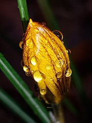 Première fleur de l'année du jardin (Marvinette (passe en free)) Tags: crocus flore fleur fleurs flowers flower france limousin hautevienne hiver waterdrops plant plants plante pluie plantes yellow jardin jaune garden gouttes rain raindrops nuit night fondnoir blackbackground