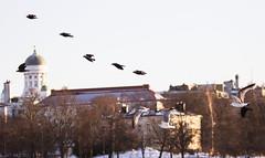Tuomiokirkko Naakat (TheSaOk) Tags: gull lokki flying bird linty lintukuva yleluonto birdwatch birdlife birds wildlife flock helsinki finland suomi spring sun urban naakka crow nature sunset