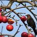 Turdus merula (f) Blackbird