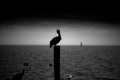 DSC_8424-2 (capt_tain Tom) Tags: pelican brownpelican marsh marshsunset lakepontchartrain
