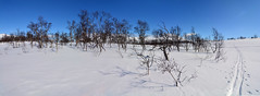Skiing in the birch forest (supersky77) Tags: sweden svezia jamtland triangle triangeln sylarna