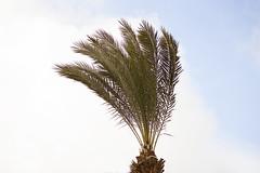 Palm Trees & Wind in Pat Junction-3 (zeevveez) Tags: זאבברקן zeevveez zeevbarkan canon palm wind