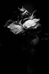 Roses (mellting) Tags: eskilstuna lã¤genheten nikond500 platser bloggad flickr instagram matsellting mellting nikkor5018 nikon sverige sweden rose rosa ros flower monochrome blackandwhite bnw