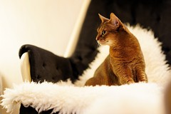 Lizzie claws in the sheepskin. 😻 (DizzieMizzieLizzie) Tags: abyssinian aby lizzie dizziemizzielizzie portrait cat feline gato gatto katt katze kot meow pisica sony neko gatos chat fe ilce ilce7m3 a7iii pose classic pet golden bokeh dof animal t f14 85mm gm 2019