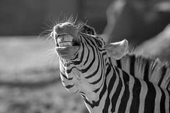 Zähne zeigen (Mel.Rick) Tags: tiere animals zoo säugetiere mammals zooduisburg zebra damarasteppenzebra hippotigris explored inexplore
