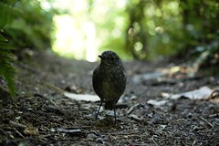 north island robin (kattabrained) Tags:
