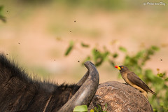 Yellow-billed oxpecker (Buphagus africanus) (andresdelacruz1) Tags: oxpecker yellow billed kruger