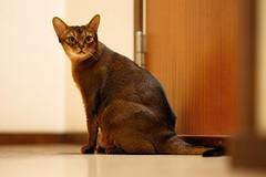 LizZie viewing... 😼 (DizzieMizzieLizzie) Tags: abyssinian aby lizzie dizziemizzielizzie portrait cat feline gato gatto katt katze kot meow pisica sony neko gatos chat fe ilce ilce7m3 a7iii pose classic golden bokeh dof animal t f14 85mm gm 2019 view