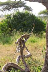 Ndutu Serengeti and Ngorongoro Safari 2019 (taharaja) Tags: fox ngorongoro seronera migration birds lakemanyara impala wildebeast vultures ndutu hunting jackal tribal wildebeest giraffe lions buffalo crater greatmigration nationalpark capebuffalo cheetah eagles zebra elephant wildlife gazelle warthogs masai rhino tanzania leopard mara serengeti hyena mararegion tz