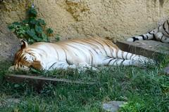 Memphis Zoo (Tiger_Jack) Tags: memphis memphiszoo zoo zoos zoosofnorthamerica itsazoooutthere bigcat bigcats flickrbigcats tiger tigers