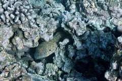 whitemouth moray eel: Gymnothorax meleagris, with yellowmargin moray eel: Gymnothorax flavimarginatus (kris.bruland) Tags: whitemouthmorayeelgymnothoraxmeleagris muraenidae gymnothoraxmeleagris yellowmarginmorayeelgymnothoraxflavimarginatus gymnothoraxflavimarginatus twostep whitemouthmorayeel moray eel turkeymoray whitemouthmoray guineafowlmoray puhionio yellowmarginmorayeel yellowedgedmorayeel puhipaka honaunau puuhonuaohonaunaunationalhistoricalpark placeofrefuge cityofrefuge southkona captaincook kealakekuabay kona westhawaii hawaiicounty bigisland coral hawaii hawaiian creature reef pacific ocean scuba sea snorkel underwater snorkeling tropical dive diver diving ecology ecosystem environment environmental fish krisbruland ichthyology ichthyologist island islands marine nature organism outdoor saltwater science undersea vertebrate water zoology life sandwich animal aquatic biology