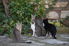 Gats a Mirambell (esta_ahi) Tags: anoia mirambell gat gato cat gatos felissilvestriscatus barcelona spain españa испания