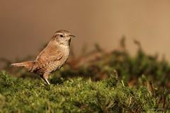 Het kleine ding (Manon van der Burg) Tags: sigma100400mm canon80d vogelen birdphoto birdwatching birding birdphotography birdlover wren winterkoning
