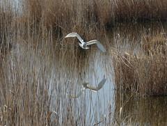 Dinnyés (Hungary) (szabolcs.mosonyi) Tags: europe hungary eu bird birdwatching