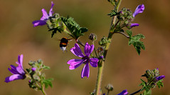 Una buena pareja, El Abejorro y la Malva.- (angelalonso57) Tags: canon eos 6d 70200mm f28 dg os hsm | sports 018 ƒ28 1880 mm 11600 100 primavera photographie cool captura abejorros polen foto colores abeja vuelo