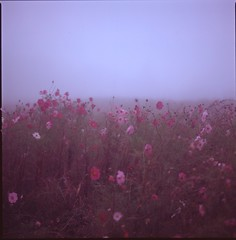 (✞bens▲n) Tags: hasselblad 500cm provia 100f carl zeiss 80mm f28 film analogue 6x6 cosmos flowers fog