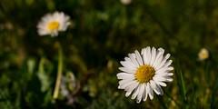 Chamomile (akatsoulis) Tags: sunnyday countryside wales flowers chamomile closeup bokeh