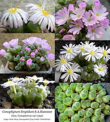 Conophytum limpidum (collage) (Succulents Love by Pasquale Ruocco) Tags: conophytum limpidum collage aizoaceae mesembs mesembryanthema mesembryanthemum mesembryanthemaceae stabiae succulents love succulent succulente succulenta sassi fioriti sukkuleten suculentas south africa cactusco northwestern cape cssa journal bcss cactusworld flowering stones forum cactus avonia fgas dkg kuas ajjem fiore vaso macro pianta pasquale ruocco rsa namaqualand southafrica