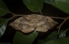 Anthela female (dustaway) Tags: insecta tamborinemountain mounttamborine sequeensland queensland australia australianwildlife lepidoptera anthelidae anthela australianmoths australianinsects